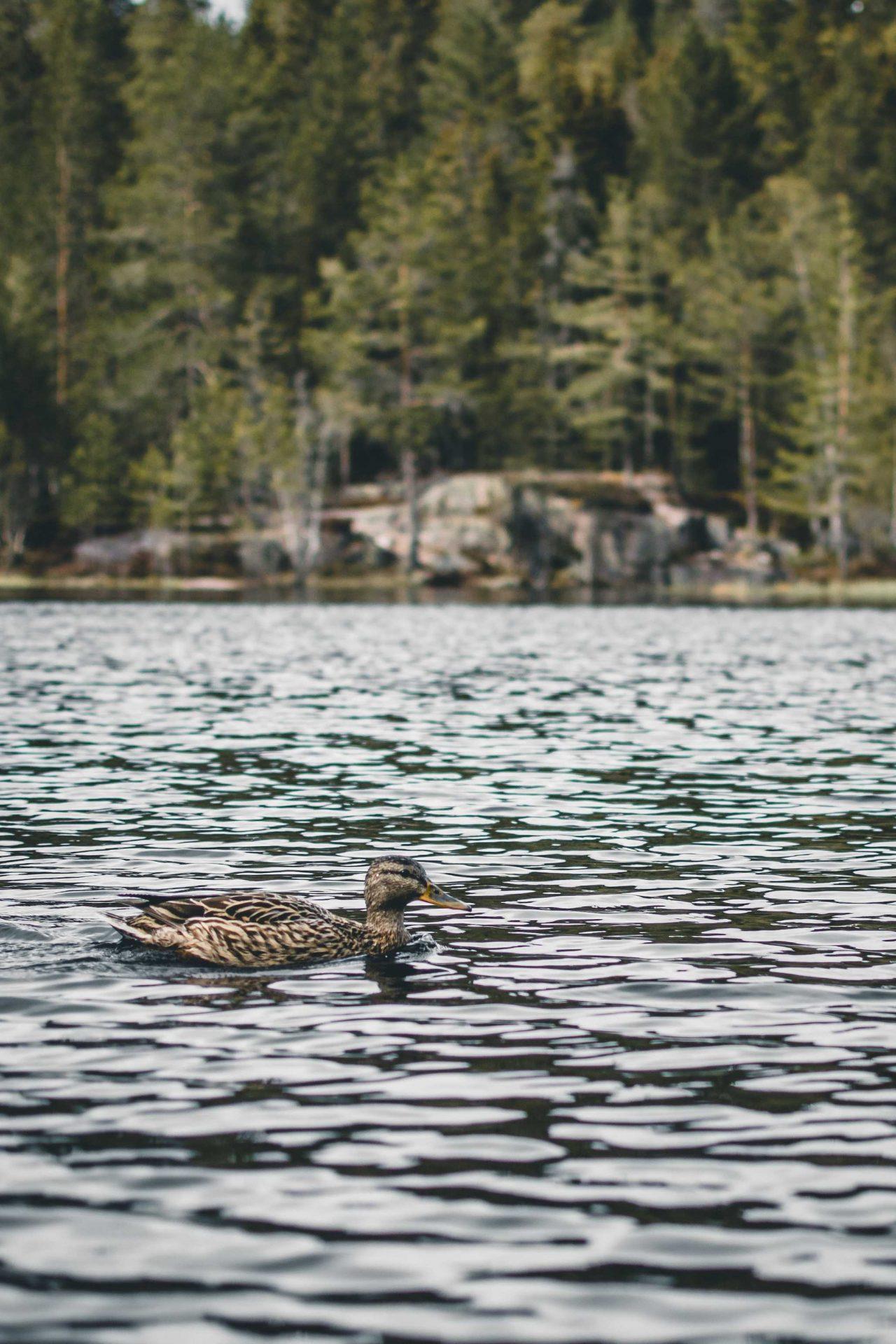 kaczki wNorwegii