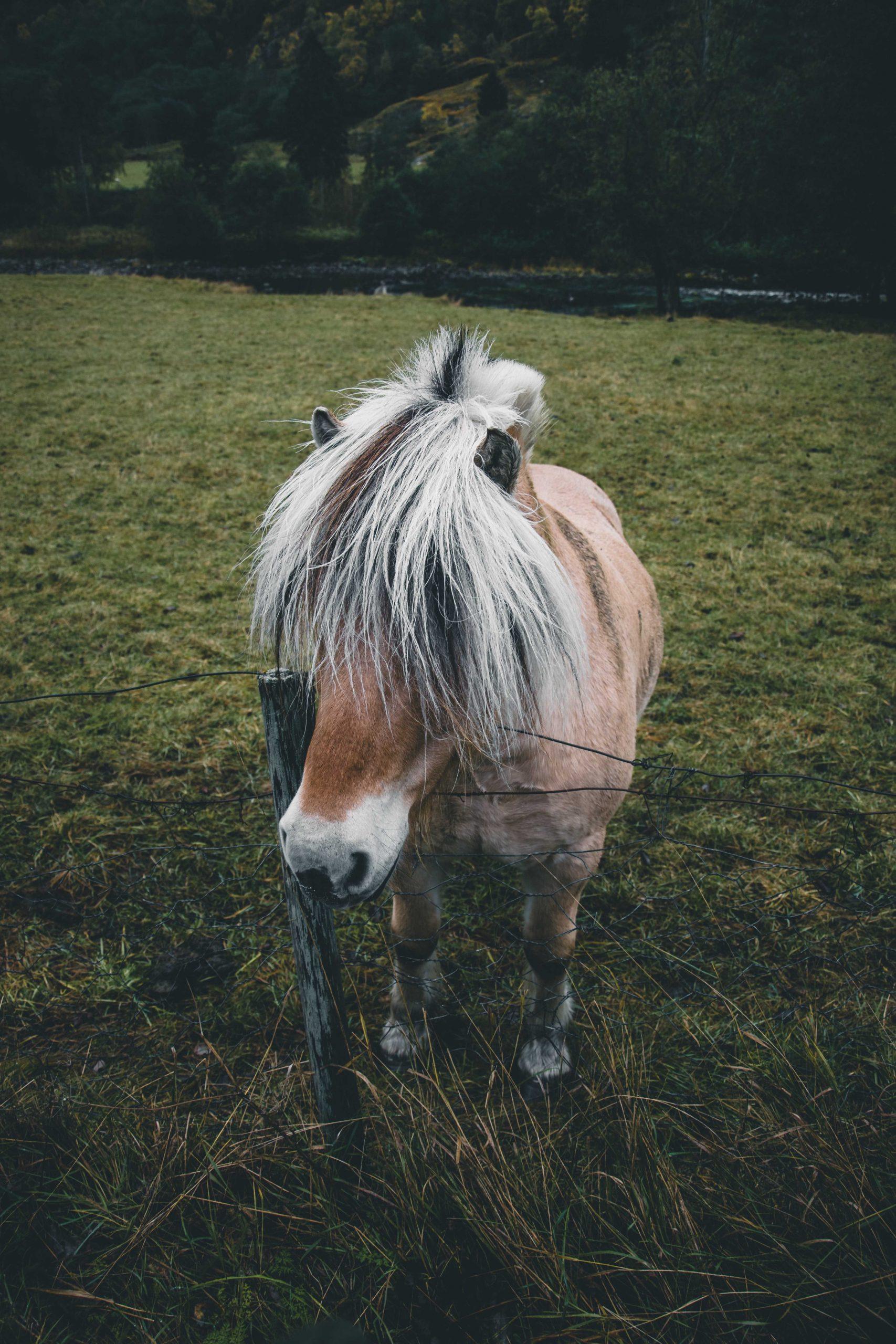 koń norweski