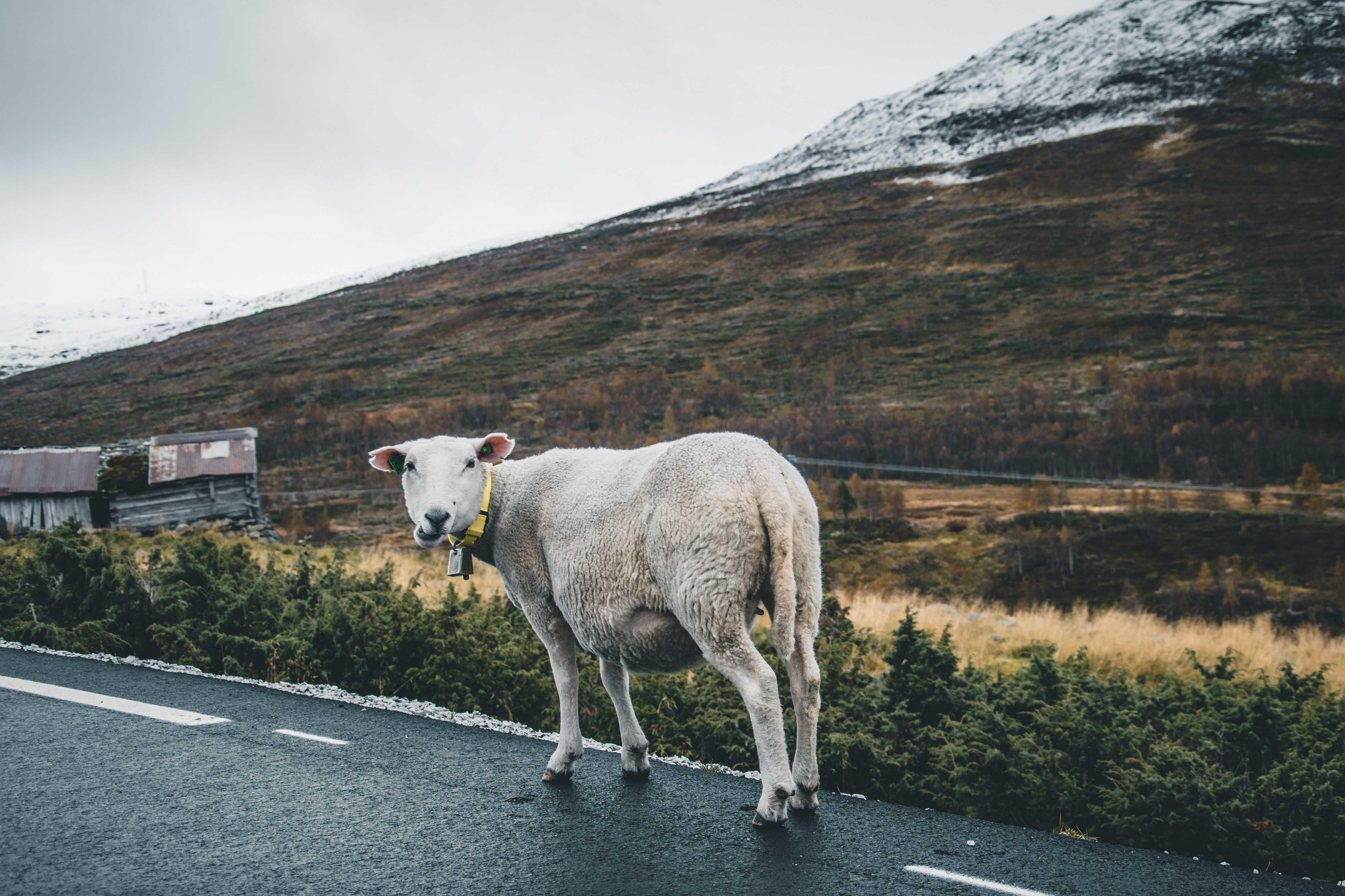 owce wNorwegii