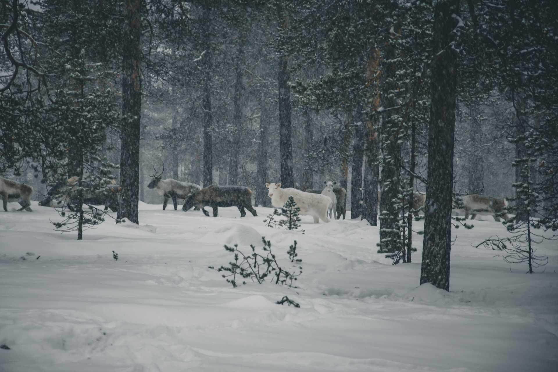 dzikie zwierzęta wNorwegii