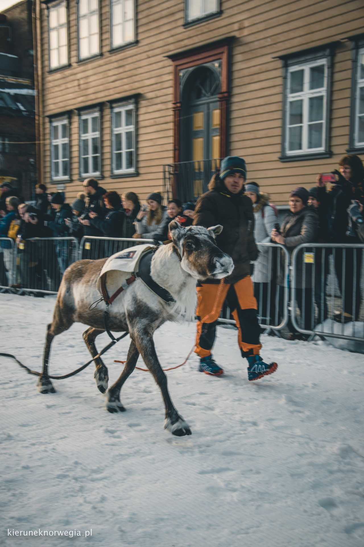 Norwegia renifery