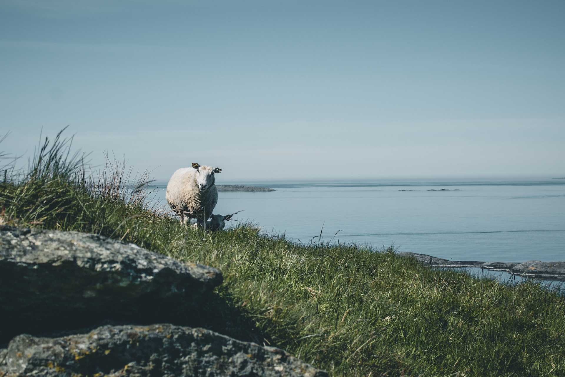 owce napołudniu Norwegii