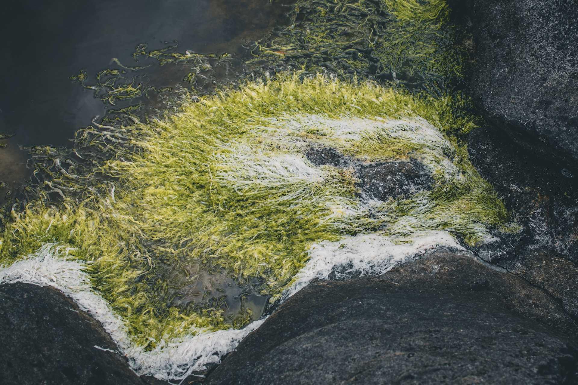 norweskie glony