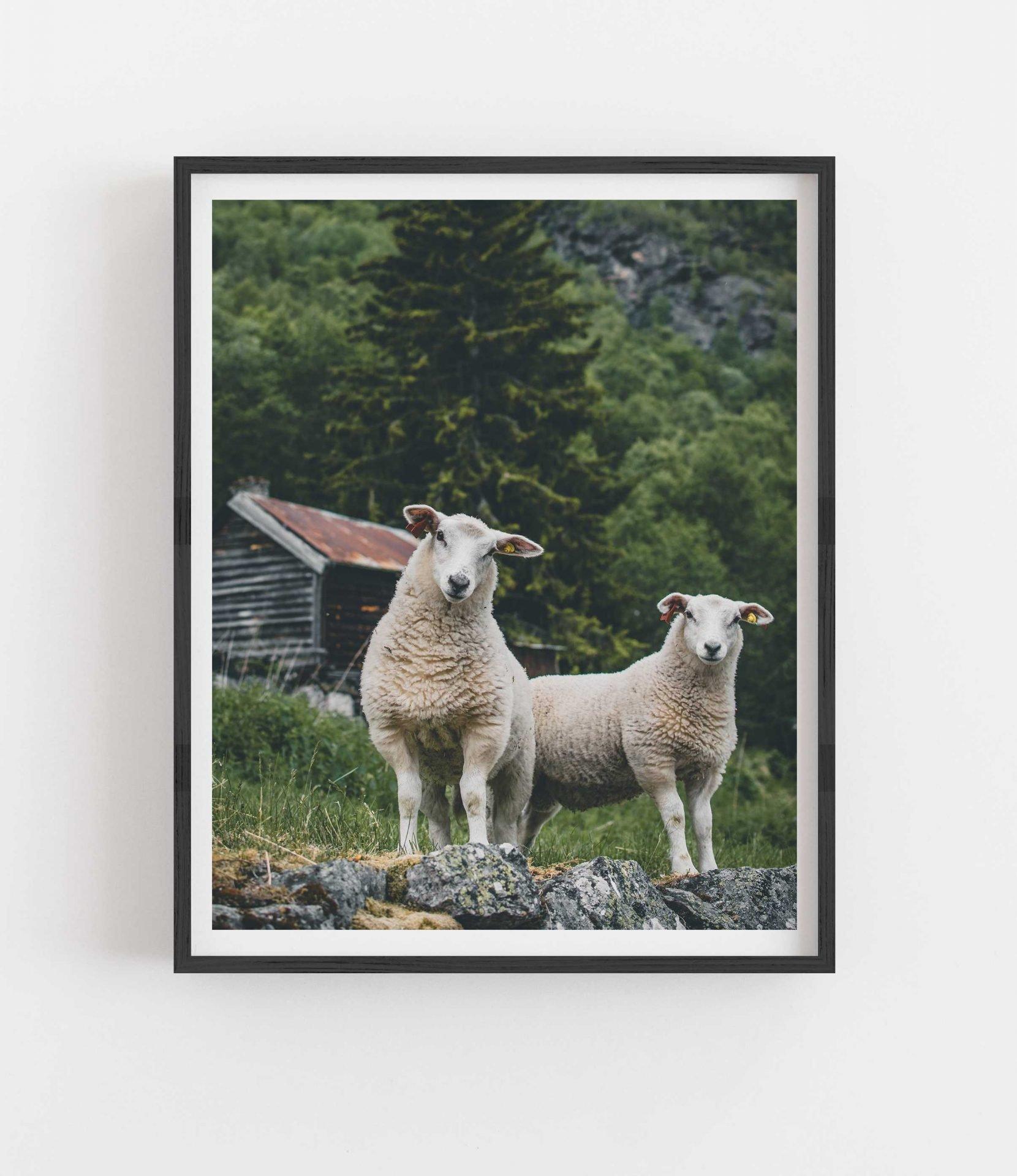 owca plakat