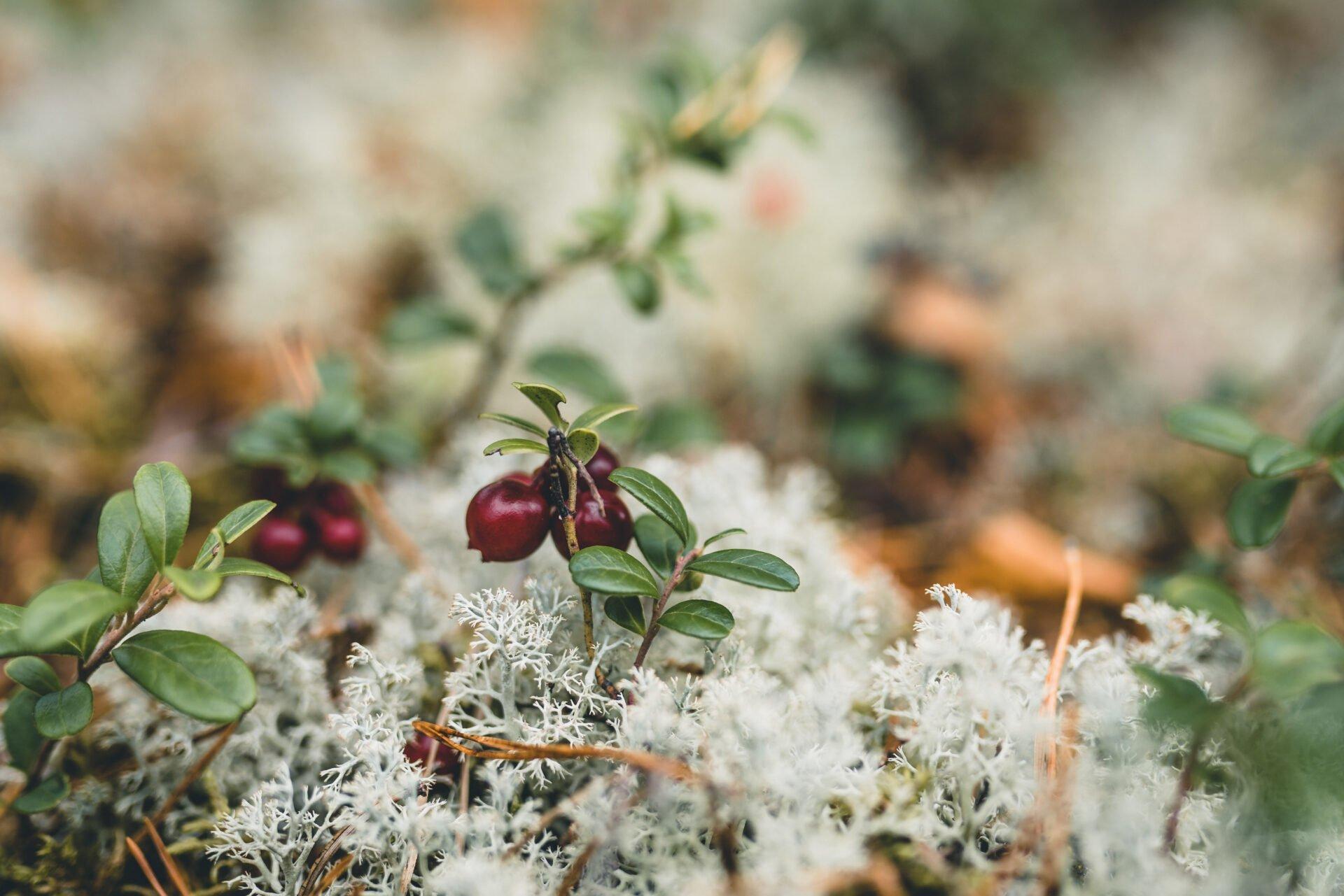 tyttebær
